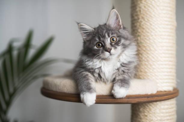 Maine coon kitten on scratching post picture id1085284026?b=1&k=6&m=1085284026&s=612x612&w=0&h=lplpjbqfl9pi8ibfmdrdpms abvuluqyom2pvio91v4=