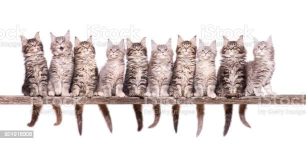 Maine coon kitten on white picture id924918908?b=1&k=6&m=924918908&s=612x612&h=3gmpuxodgonfd3uuzctk5vfr32bikqrumnzhv4hzfn8=