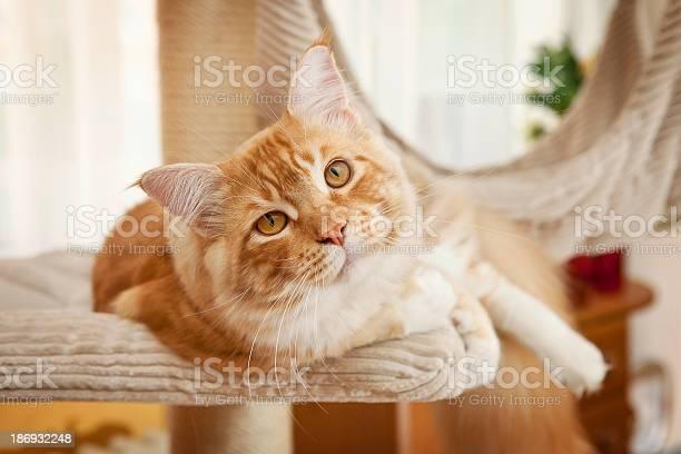 Maine coon kitten picture id186932248?b=1&k=6&m=186932248&s=612x612&h=7ex9tvedumgk5zvnq0gi4oqreutw1yklqpgnanx4f6u=