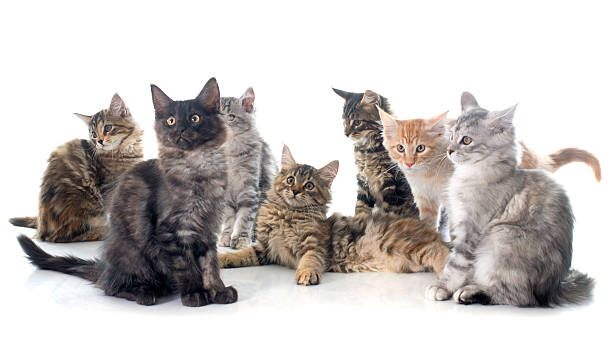 maine coon kitten stock photo