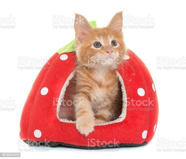 Maine coon kitten picture id615524412?b=1&k=6&m=615524412&s=612x612&h=m0h64r 1jliyblqfv1traj842jgxvrjplhkls875y5i=