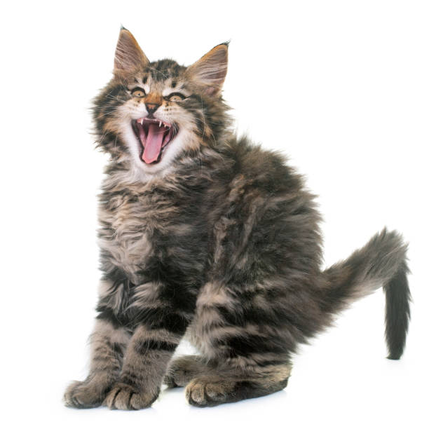 maine coon kitten maine coon kitten in front of white background scared cat stock pictures, royalty-free photos & images