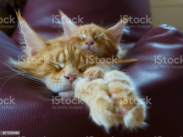 Maine coon kitten picture id827026490?b=1&k=6&m=827026490&s=612x612&h=m4tqtarecyyoasm8k2mrbylzyxzywy56vs7wflkgmwq=