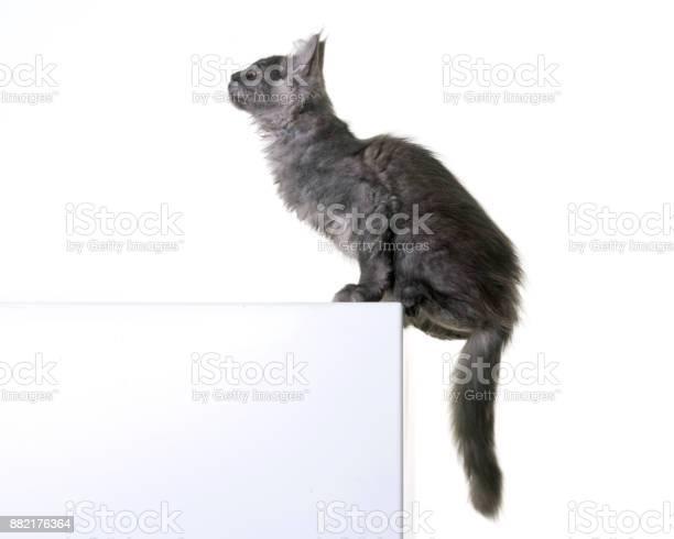 Maine coon kitten picture id882176364?b=1&k=6&m=882176364&s=612x612&h=vbfjhws58pmdrw78kopfswktwwruzuwud1eb49dego8=
