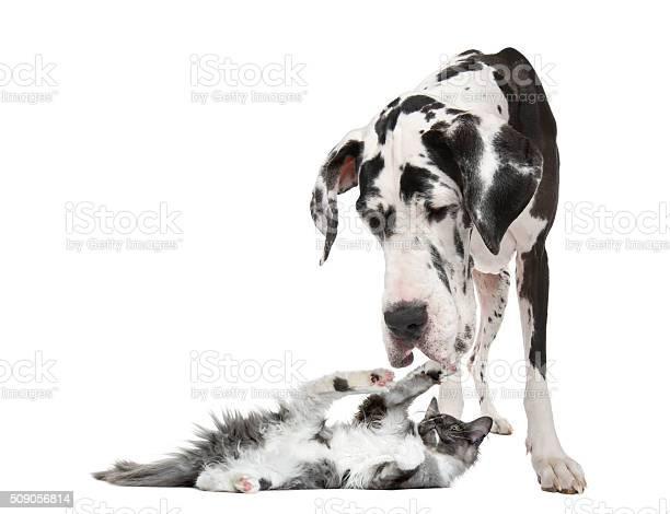 Maine coon kitten playing with a harlequin great dane picture id509056814?b=1&k=6&m=509056814&s=612x612&h=pwfvhxaxwa9pfqxf5kl3g1vt40o8uz8bap0bb lu5vi=
