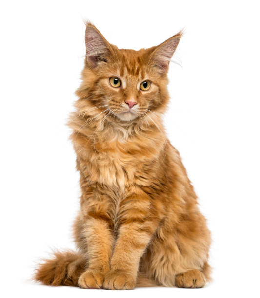 Best Maine Coon Cat Stock Photos, Pictures & Royalty-Free Images