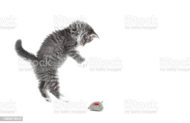 Maine coon kitten studio shot picture id1069679042?b=1&k=6&m=1069679042&s=612x612&h=toszrtyud5q0kvmqwjlqroz4kxhydicx  vkr3kjo60=