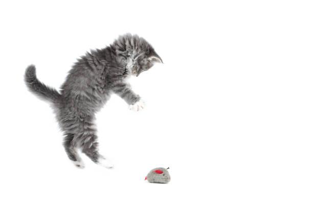 Maine coon kitten studio shot picture id1069679042?b=1&k=6&m=1069679042&s=612x612&w=0&h=sprytbgp6o1gs0u  w8nqymxg78ios4kfor7mskxgka=