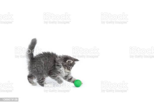 Maine coon kitten studio shot picture id1069679158?b=1&k=6&m=1069679158&s=612x612&h=jmrq3to5ovswi9apls1acgoqfk0caj43zizmtwrboii=