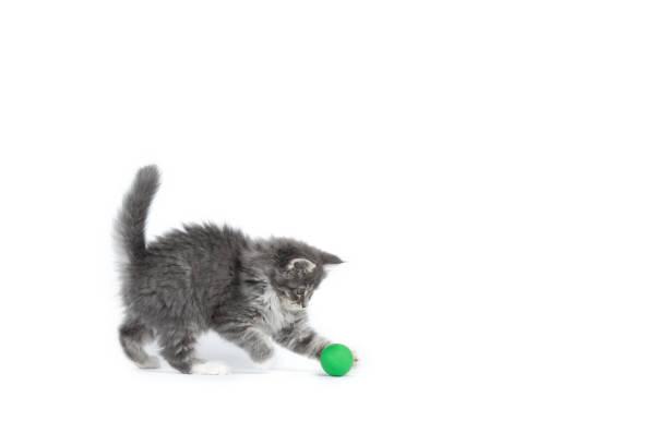 Maine coon kitten studio shot picture id1069679158?b=1&k=6&m=1069679158&s=612x612&w=0&h=sgvoxsjvnkd81j0hxeizzsws6rh8 6jxr7m5lxwohuo=