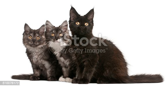 istock Maine Coon Kittens, 12 weeks old, sitting 510076172