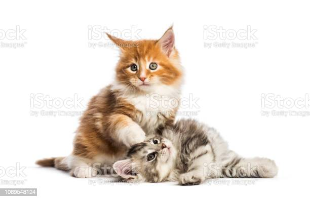 Maine coon kittens 8 weeks old lying together in front of white picture id1069548124?b=1&k=6&m=1069548124&s=612x612&h=f0whxmheep3efd4udyddub s 1vsql qyfunundm5tu=