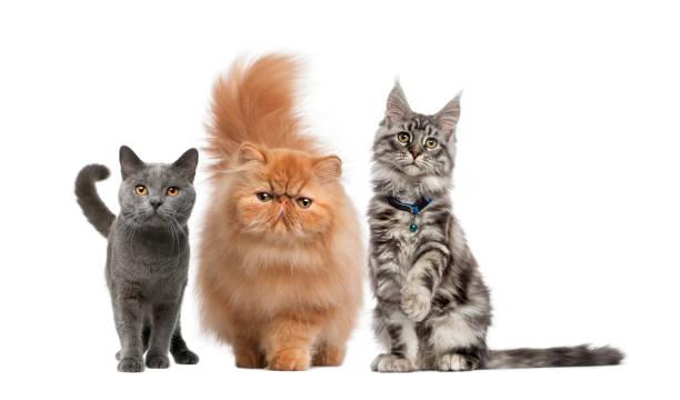 maine coon, perser kätzchen, chartreux katze, vor weißem hintergrund - karthäuserkatze stock-fotos und bilder
