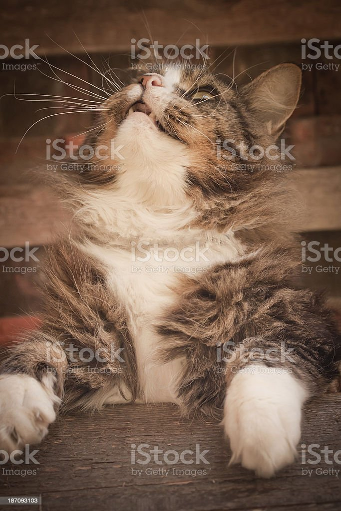 Maine Coon royalty-free stock photo