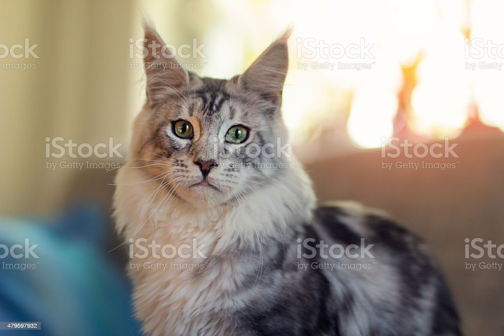 Maine coon - Royalty-free 2015 Stock Photo