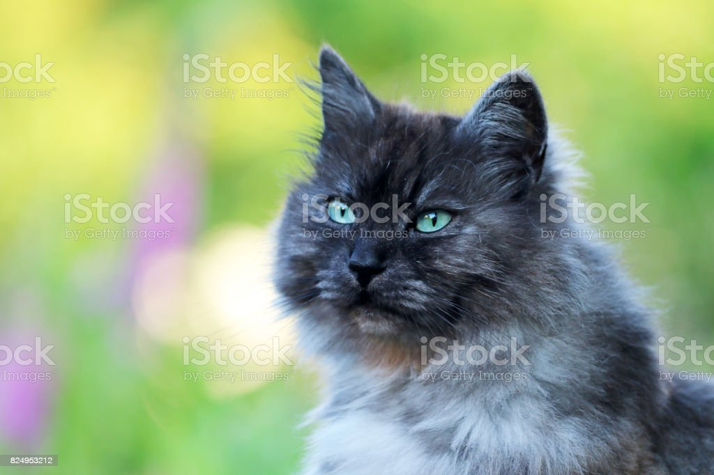 Maine Coon stock photo