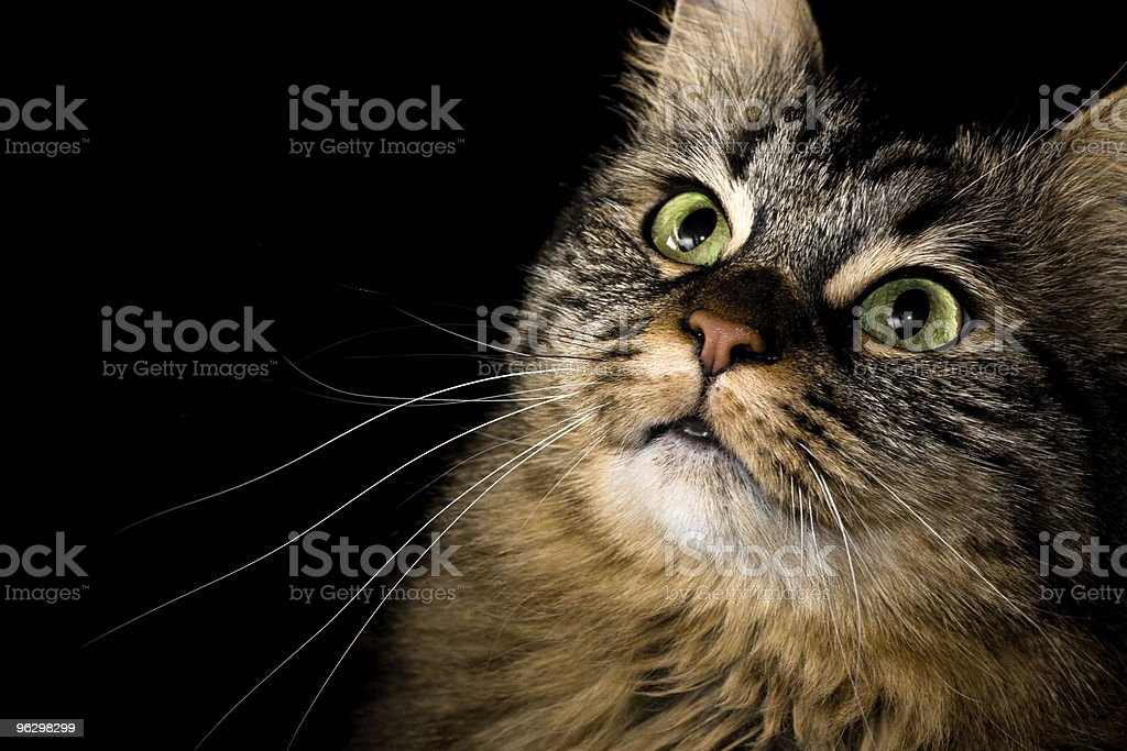 Maine Coon portrait royalty-free stock photo