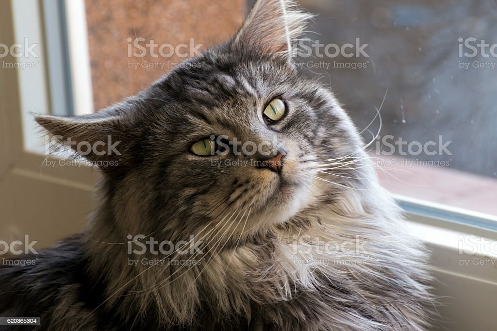 Maine coon resting at home zbiór zdjęć royalty-free