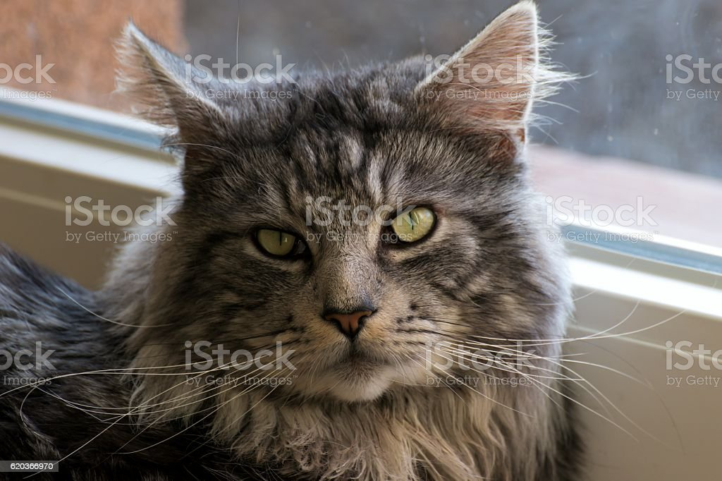 Maine coon resting at home foto de stock royalty-free