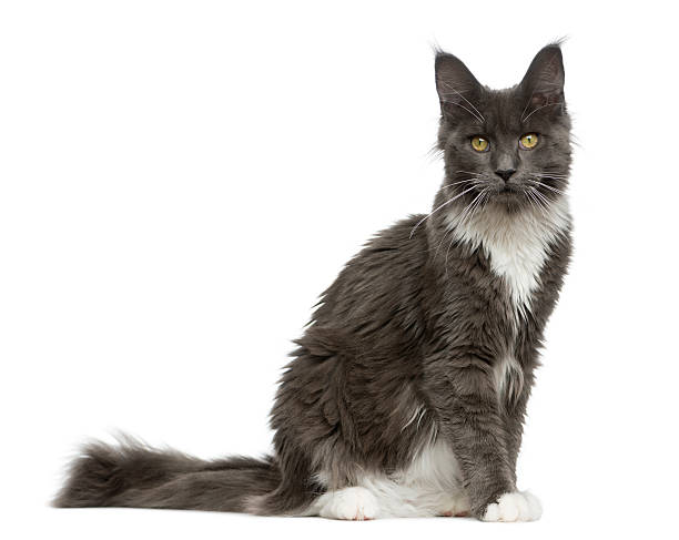 Maine coon sitting in front of a white background picture id513366794?b=1&k=6&m=513366794&s=612x612&w=0&h=voevn3rto0s46pbvi r7b6qzpes 0mbz7p onam4uci=