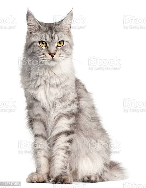 Maine coon two years old sitting white background picture id115747353?b=1&k=6&m=115747353&s=612x612&h=8 3yycphkhri ajso9ownljbfwzclks5ylkm7m v1uo=