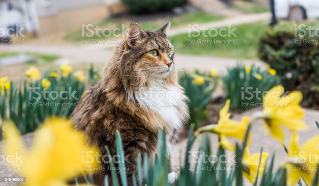 Maine coot cat sitting outside in spring by daffodils by stairs on porch stock photo