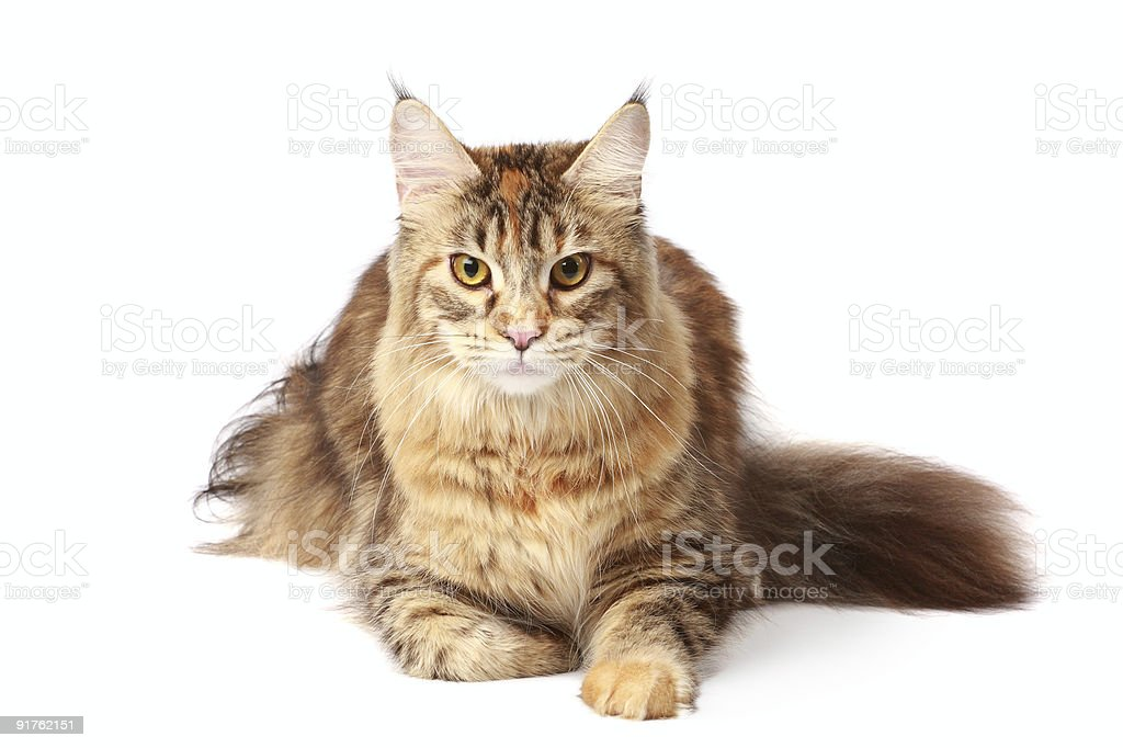 Maine-coon cat royalty-free stock photo