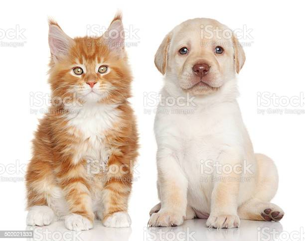 Mainecoon kitten and labrador puppy picture id502021333?b=1&k=6&m=502021333&s=612x612&h=2mpkwd2iqzh ybs5o8pc57fhnd4iyze a0arkto5wwe=