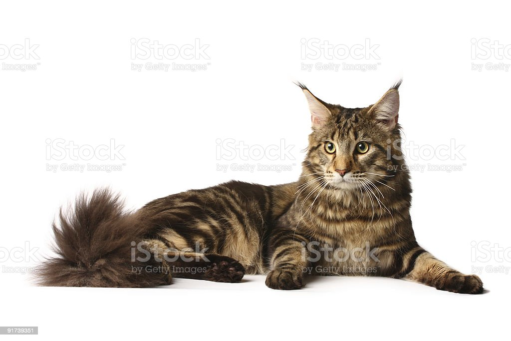 Maine-coon royalty-free stock photo