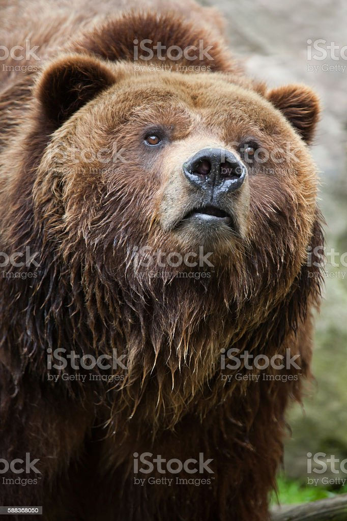 Mainland grizzly (Ursus arctos horribilis). stock photo