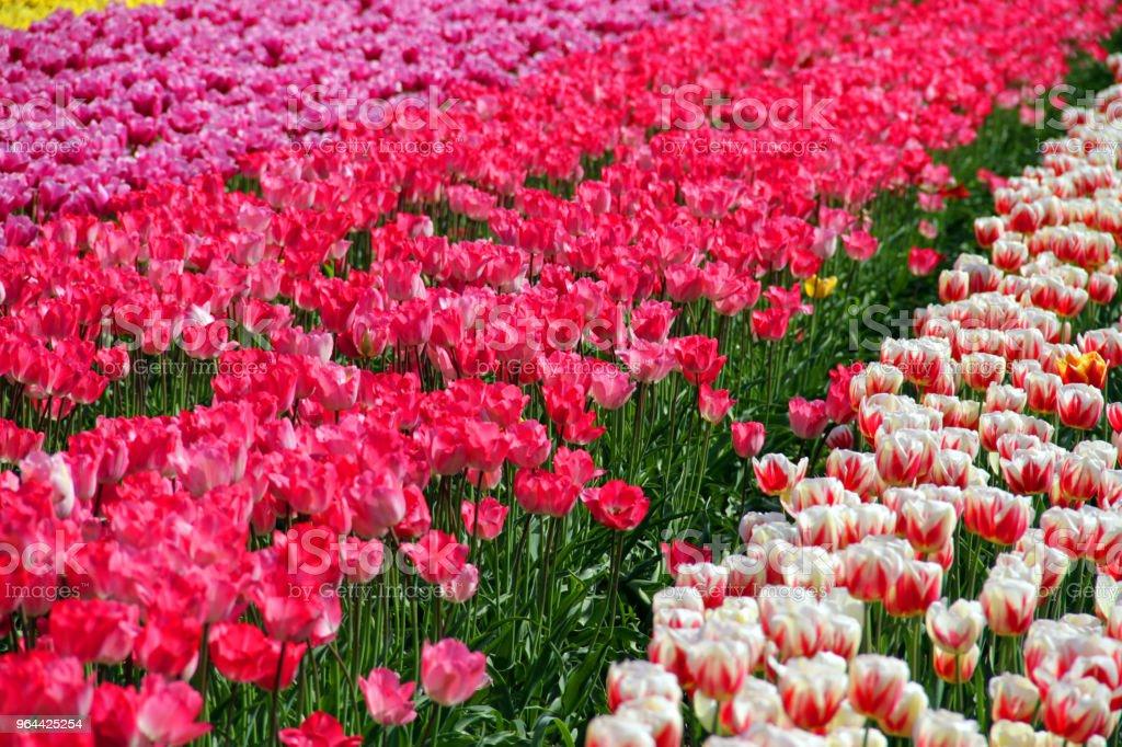 Mainland Tulips - Royalty-free Abbotsford - Canada Stock Photo