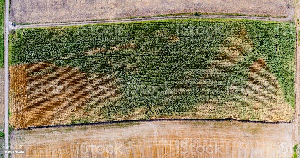 Maisfeld ausgetrocknet – Foto