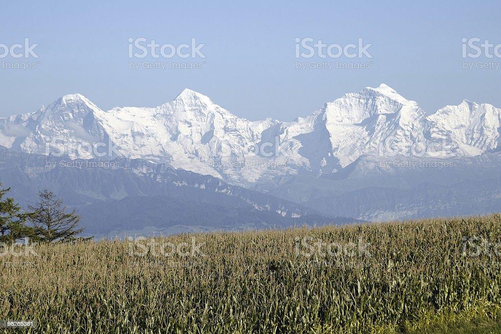Maisfeld mit Eiger, Mönch und Jungfrau im Hintergrund royalty-free stock photo