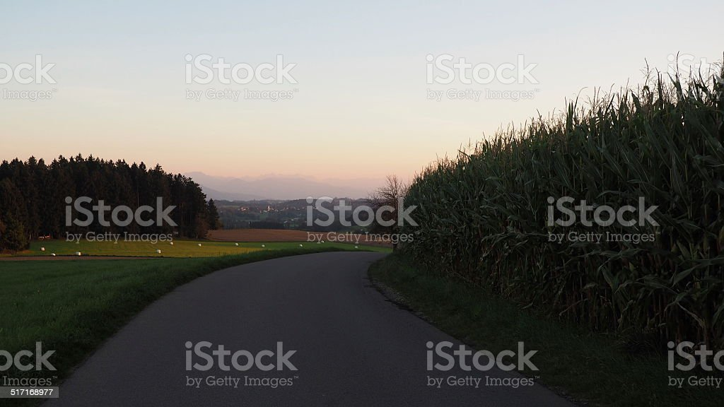 Maisfeld stock photo