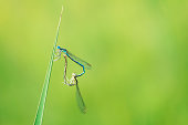 Pairing of two white-legged damselflies or blue featherlegs captured in Nature Reserve called Murnauer Moos, Germany