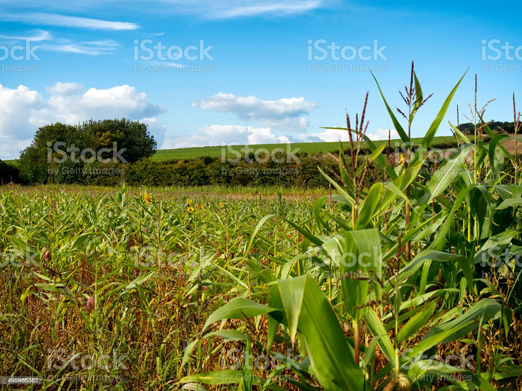 Maize and sunflowers in a Norfolk field stock photo