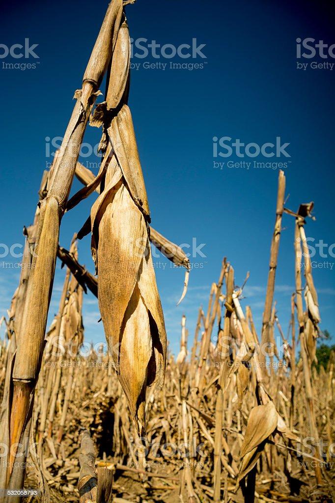 Maize corn field at sunset stock photo