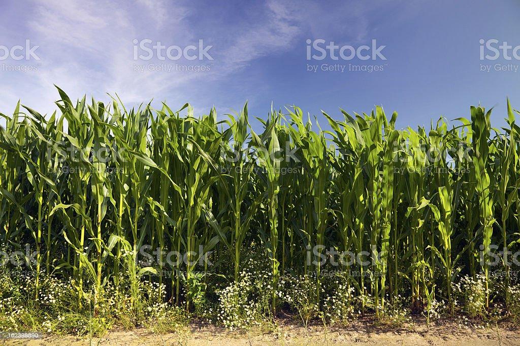 maize cornfield royalty-free stock photo