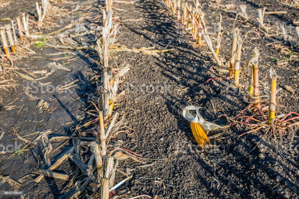 Maize ear left behind after harvest royalty-free stock photo