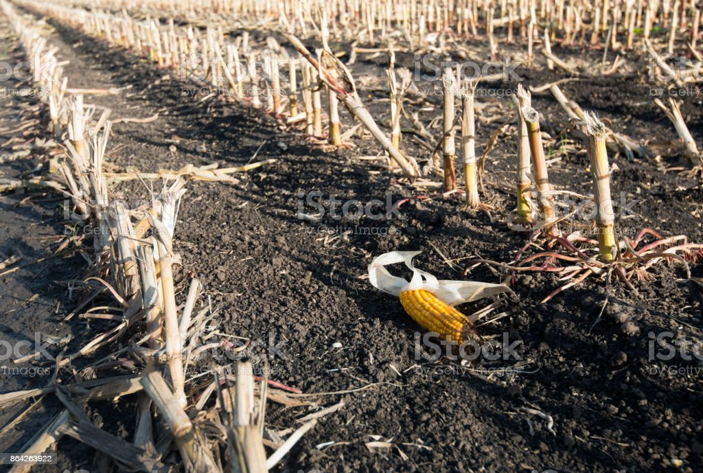 Maize ear left behind in the stubble field royalty-free stock photo
