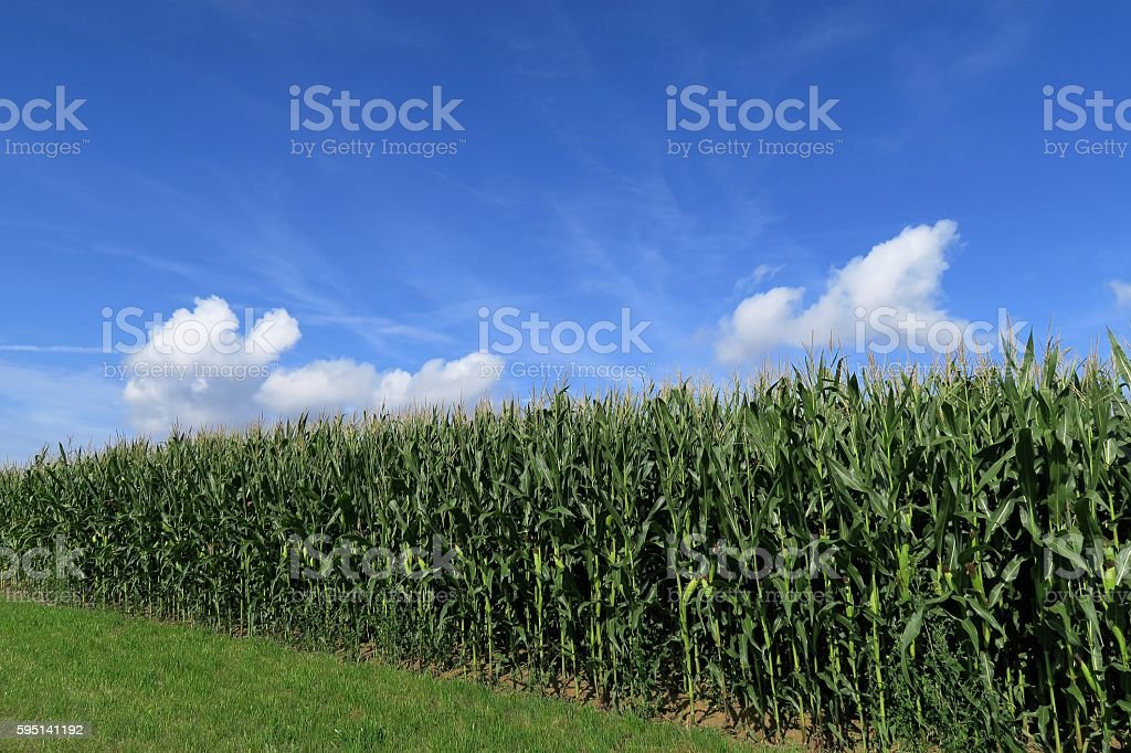 Maize field in the sun stock photo