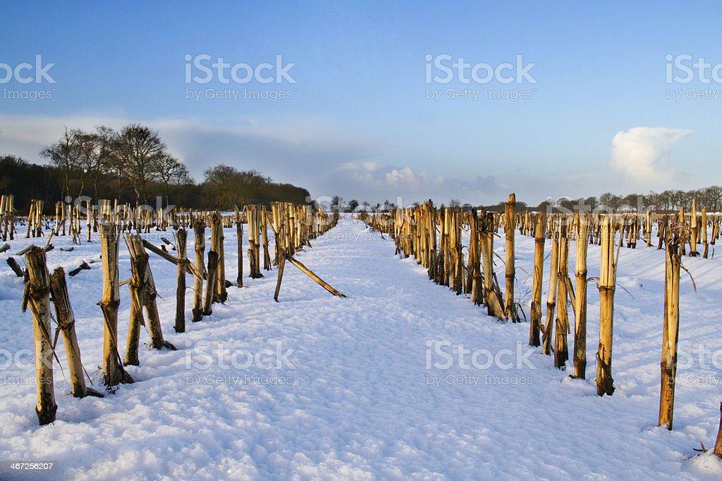 Maize field in winter stock photo