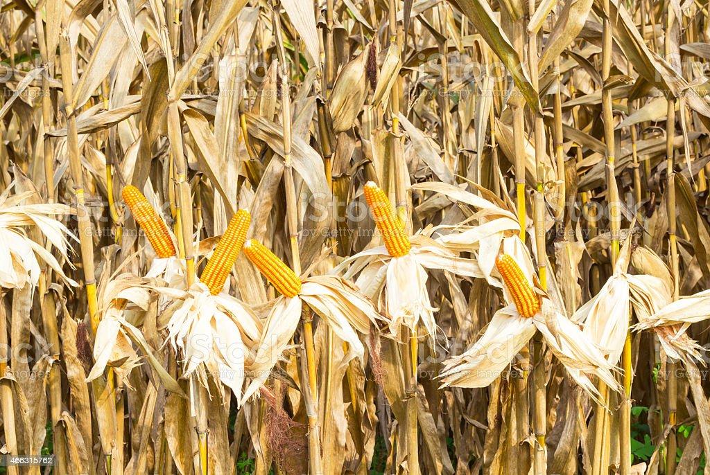 maize field stock photo