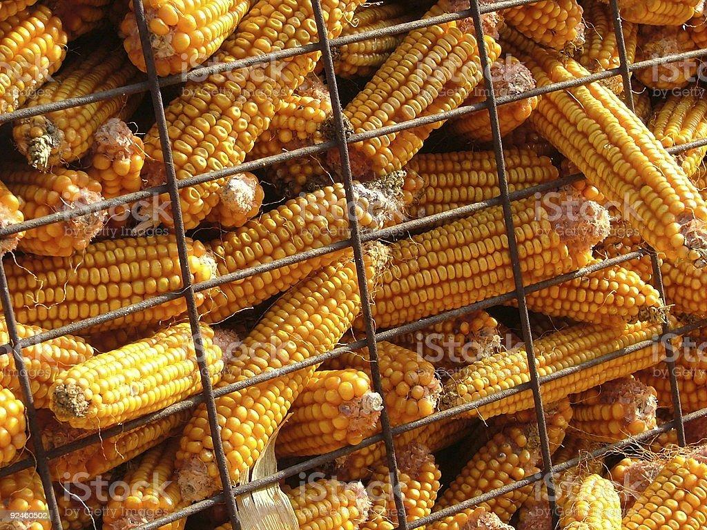 Maize Harvest 1 royalty-free stock photo