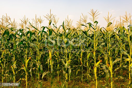 Maize or corn organic planting in cornfield. It is fruit of corn for harvesting by manual labor. Maize production is used for ethanol animal feed and other such as starch and syrup. Farm green nature
