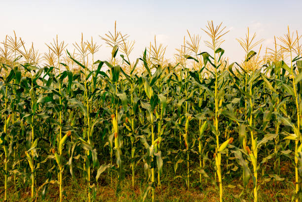 maize or corn organic planting in cornfield. it is fruit of corn for harvesting by manual labor. maize production is used for ethanol animal feed and other such as starch and syrup. farm green nature - pannocchia foto e immagini stock