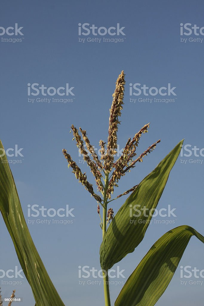 Maize royalty free stockfoto