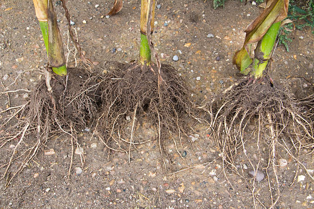 Maize roots Maize roots on a mature plant root hair stock pictures, royalty-free photos & images