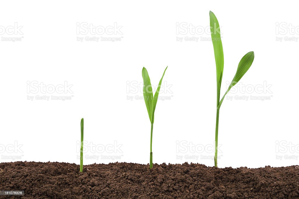 maize:growing plant sequence in dirt isolated on white background stock photo