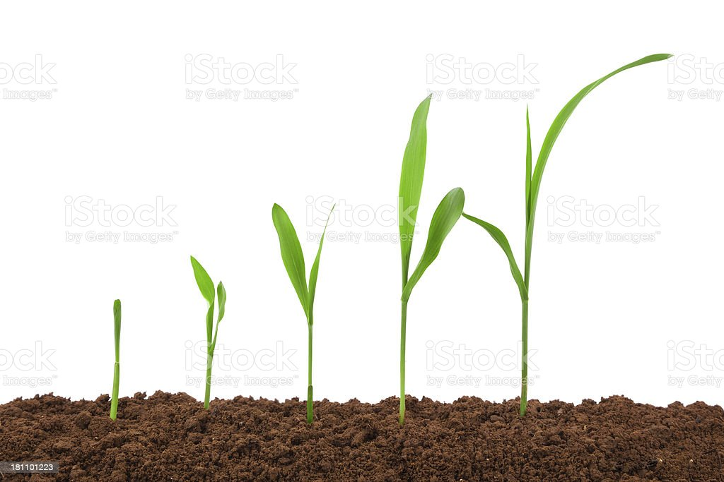 maize:growing plant sequence in dirt isolated on white background maize:growing plant sequence in dirt isolated on white background Agriculture Stock Photo